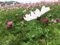 一朵白色的格桑花