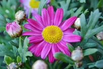 一朵粉红色的菊花