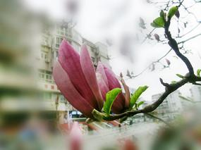 紫玉兰花枝