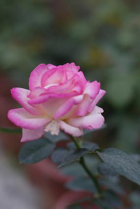 白色紫色渐变玫瑰高清图片