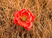 草丛盛开小红花图片