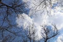 蓝天白云下的树木