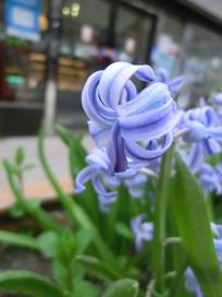 盛开的蓝钟花