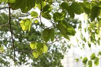 阳光下的绿树叶