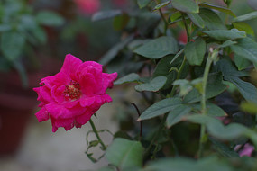紫色玫瑰花高清图片