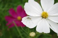 格桑花瓣上的昆虫