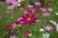 花丛中的红色格桑花