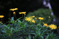 绿叶衬托下的小黄花