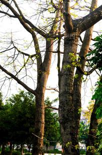 木棉树树干风景图片
