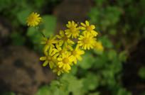 阳光下的小野菊