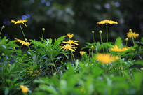 远处的小黄花