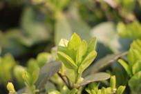春季嫩绿的叶子
