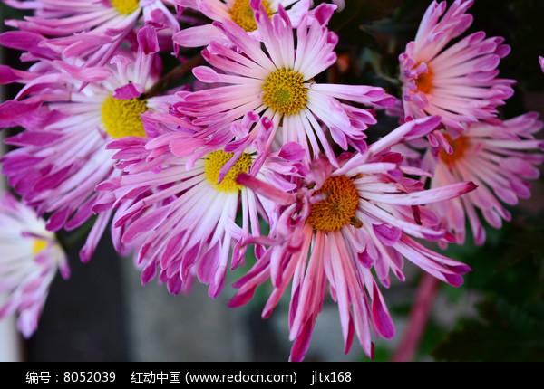 粉红色菊花图片
