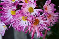 粉红色菊花