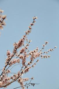 蓝天背景的樱花花枝