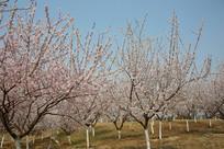 蓝天背景的樱花树林