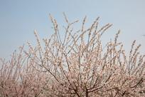 蓝天背景下的粉红樱花