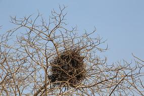 树冠上的喜鹊鸟巢