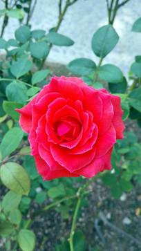 坚强鲜艳的红玫瑰