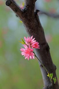 树干的上的两朵桃花