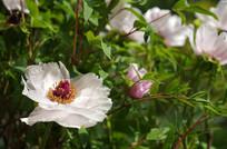 白色芍药植物花卉摄影
