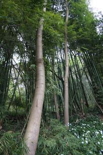 长在竹林中的梧桐树