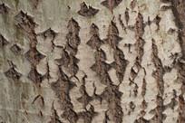 大树树干纹理