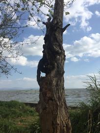 滇池岸边老树干