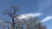 蓝天大树图片