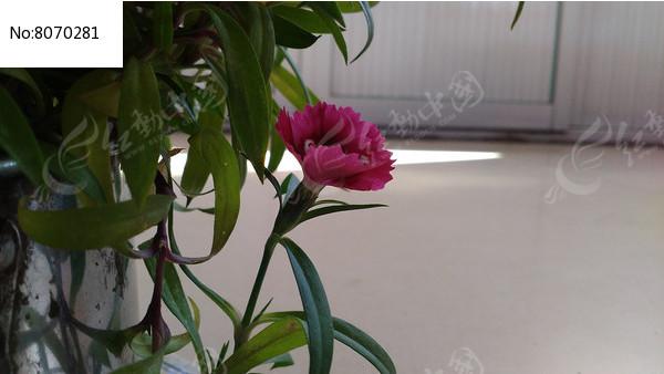 一朵石竹子花图片图片