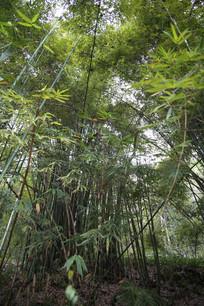 一片葱郁的竹林