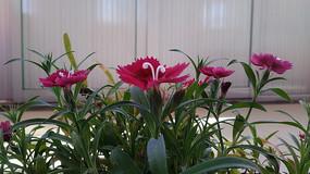 紫色石竹子花图片
