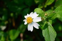 白色小野菊
