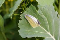 菜叶子上的蝴蝶