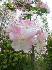 春天里地樱花