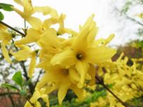 黄色的迎春花