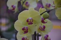 黄色紫心蝴蝶兰