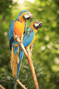 两只蓝色金刚鹦鹉