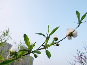 撒金桃花朵朵开