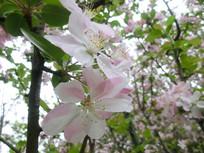 盛开的粉红樱花