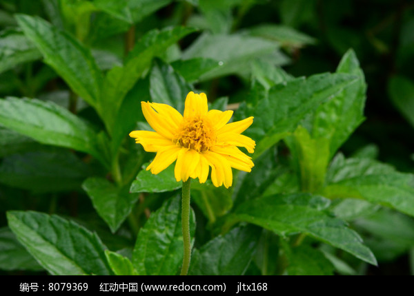 小小的黄菊花图片