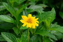 小小的黄菊花