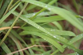 在绿叶上滚动的露珠