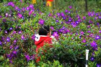 紫红野牡丹