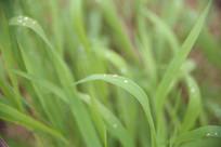 带露珠的绿草背景图