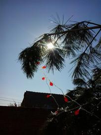 放着彩灯的松树枝图片