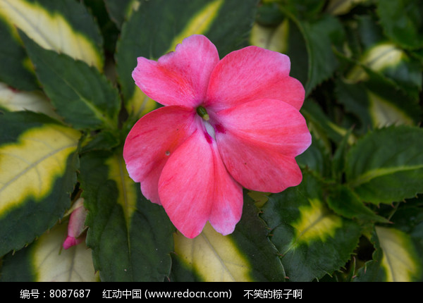 非洲凤仙花的扦插视频图片