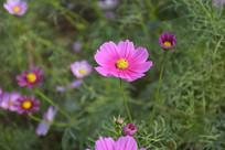 粉色幸福花