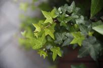 五角星树叶背景图
