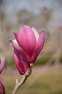 一朵木兰花